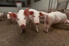 Exploração agrícola de porco imagem de stock