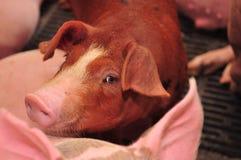 Exploração agrícola de porco Foto de Stock Royalty Free