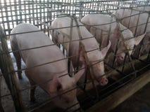 Exploração agrícola de porco Fotografia de Stock Royalty Free