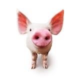 Exploração agrícola de porco imagem de stock royalty free