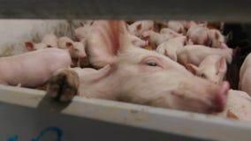 Exploração agrícola de porco com muitos leitão video estoque