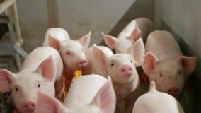 Exploração agrícola de porco com muitos porcos filme