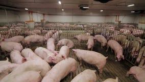 Exploração agrícola de porco com muitos porcos vídeos de arquivo