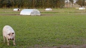Exploração agrícola de porco exterior Dinamarca Fotografia de Stock Royalty Free