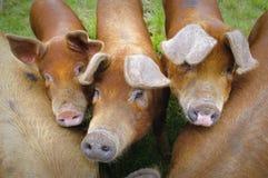Exploração agrícola de porco nas montanhas Escócia Imagem de Stock Royalty Free