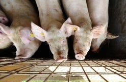 Exploração agrícola de porcos Fotos de Stock Royalty Free