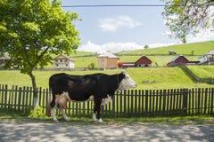 Exploração agrícola de Romênia da vaca Fotos de Stock