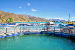 Exploração agrícola de Salmon Fish, Nova Zelândia Foto de Stock Royalty Free