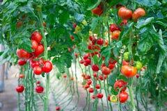 Exploração agrícola de tomates vermelhos saborosos Fotografia de Stock