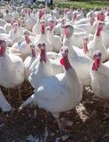 Exploração agrícola de Turquia Fotos de Stock Royalty Free