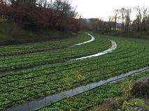 Exploração agrícola de Wasabi Foto de Stock