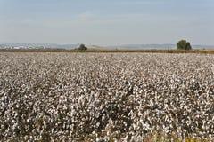 Exploração agrícola do algodão Foto de Stock