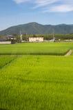 Exploração agrícola do arroz Imagem de Stock Royalty Free