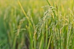 Exploração agrícola do arroz Foto de Stock