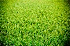 Exploração agrícola do arroz, Imagens de Stock Royalty Free