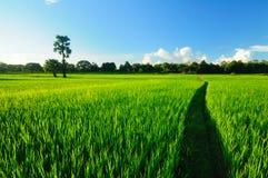 Exploração agrícola do arroz Fotos de Stock