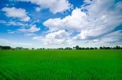 Exploração agrícola do arroz com céu azul Imagem de Stock Royalty Free