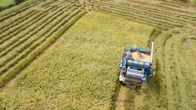 Exploração agrícola do arroz em colher a estação pelo fazendeiro com ceifeira de liga imagens de stock