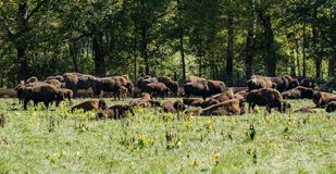 Exploração agrícola do búfalo Fotografia de Stock