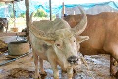 Exploração agrícola do búfalo em Suphanburi, Tailândia agosto de 2017 fotografia de stock
