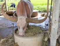 Exploração agrícola do búfalo em Suphanburi, Tailândia agosto de 2017 fotografia de stock royalty free