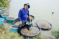 Exploração agrícola do berbigão da cultura aquática dos povos tailandeses e travamento para a venda Fotografia de Stock