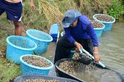 Exploração agrícola do berbigão da cultura aquática dos povos tailandeses e travamento para a venda Foto de Stock Royalty Free