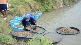 Exploração agrícola do berbigão da cultura aquática dos povos tailandeses e travamento para a venda video estoque