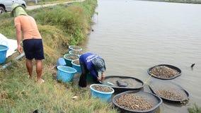 Exploração agrícola do berbigão da cultura aquática dos povos tailandeses e travamento para a venda vídeos de arquivo