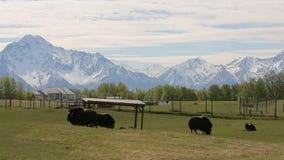 Exploração agrícola do boi de almíscares em Alaska estabilizado filme