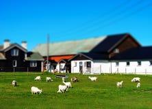Exploração agrícola do brinquedo de Noruega a micro com carneiros ajardina o fundo Fotografia de Stock Royalty Free