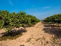 Exploração agrícola do caju Foto de Stock