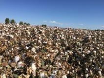 Exploração agrícola do campo do algodão Imagem de Stock