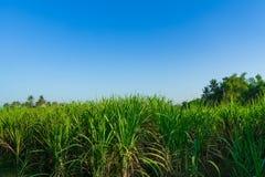 Exploração agrícola do cana-de-açúcar foto de stock royalty free