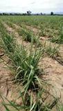 Exploração agrícola do cana-de-açúcar Fotografia de Stock Royalty Free