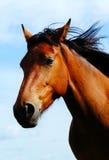 Exploração agrícola do cavalo Head Foto de Stock