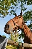 Exploração agrícola do cavalo Head Fotografia de Stock