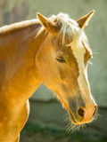 Exploração agrícola do cavalo Head Fotos de Stock Royalty Free