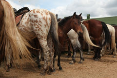 Exploração agrícola do cavalo perto de Moscou, Rússia foto de stock royalty free
