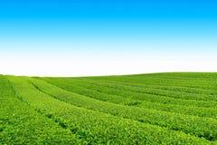 Exploração agrícola do chá fotos de stock royalty free