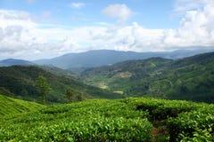 Exploração agrícola do chá Foto de Stock