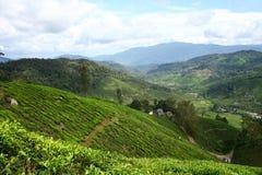 Exploração agrícola do chá Fotos de Stock