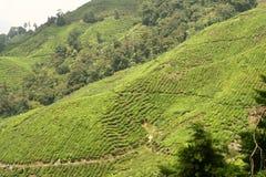 Exploração agrícola do chá fotografia de stock royalty free