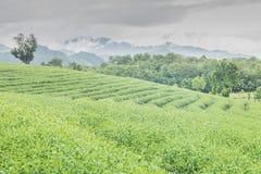 Exploração agrícola do chá Foto de Stock Royalty Free