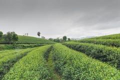 Exploração agrícola do chá Imagens de Stock Royalty Free