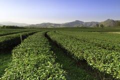 Exploração agrícola do chá do parque de Singha Fotografia de Stock Royalty Free