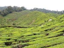 Exploração agrícola do chá em montanhas Imagens de Stock Royalty Free
