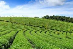 Exploração agrícola do chá em montanhas de Bao Loc, Vietname imagens de stock royalty free