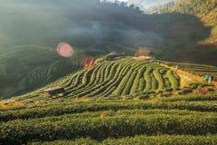 2000 exploração agrícola do chá, montanha de Doi Angkhang, Chiangmai, Tailândia Fotografia de Stock Royalty Free