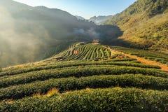 2000 exploração agrícola do chá, montanha de Doi Angkhang, Chiangmai, Tailândia Fotos de Stock Royalty Free